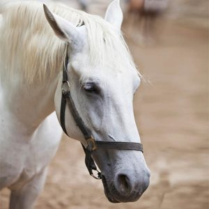 Equine-Gastric-Ulcers-Do-You-Need-To-Worry