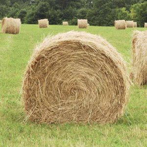 Picking-hay-for-sugar-starch-sensitive-horses