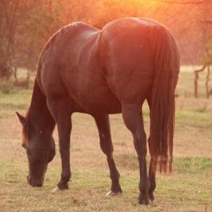 Dealing-with-arthritis-in-senior-horses