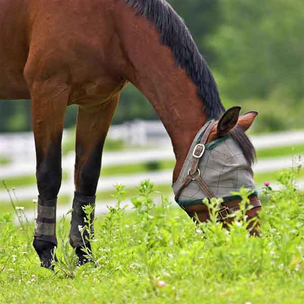 How to Stop Sweet Itch (Summer Itch) From Driving You and Your Horse