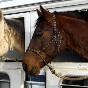 Supplement-tips-that-help-keep-horses-healthy-while-traveling