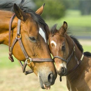 Building-a-strong-immune-system-in-mares-and-foals