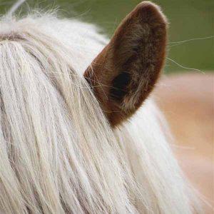 Testing-a-horses-hearing