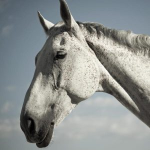 Senior-horses-may-have-trouble-maintaining-weight