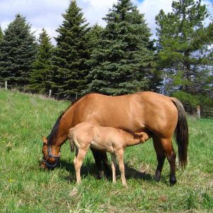 Good-Nutrition-in-Broodmares-Supports-Healthy-Foals