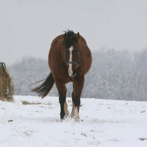Managing-Metabolically-Challenged-Horses-in-Winter