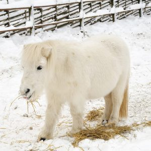 Tips-for-feeding-special-needs-horses-in-the-winter