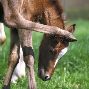 Toxicoinfectious-Botulism-Shaker-Foal-Syndrome