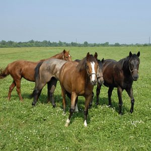 Horses-are-happier-and-healthier-when-living-in-groups