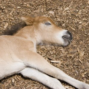 Horse-Sleep-Patterns-and-Requirements