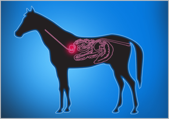 horse-digestive-tract