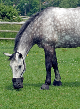 Horses-Prone-to-Equine-Metabolic-Syndrome-EMS-and-Cushings-Disease-PPID.jpg