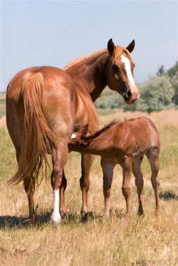 equine-horse-supplements-mare-foal1