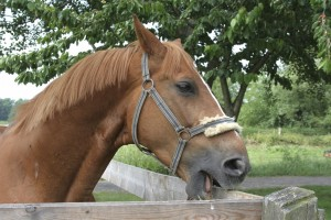Cribbing in Horses - Kentucky Performance Products