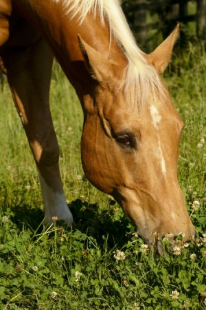 kentucky-performance-products-equine-horse-supplements-grazing-protein